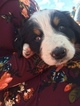 Bernese Mountain Dog Puppy For Sale in EVERGREEN, CO