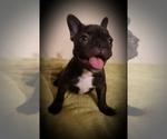 French Bulldog Puppy For Sale in TUCSON, AZ, USA