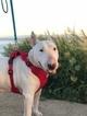 Bull Terrier Puppy For Sale in GOLETA, CA