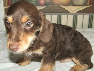 Dachshund Puppy for sale in HUDSON, MI, USA