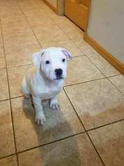 American Bulldog Puppy For Sale in HOLMEN, WI, USA
