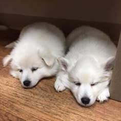 American Eskimo Dog Puppy For Sale in CANNON FALLS, MN, USA