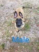 Belgian Malinois Puppy For Sale in NORTH PORT, FL, USA
