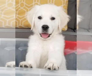 Golden Retriever Puppy for Sale in MERCED, California USA