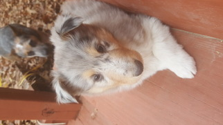 Collie Puppy For Sale in WARSAW, MO