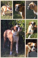 Boxer Puppy For Sale in PLANO, TX