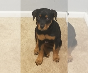 Rottweiler Puppy for sale in COTTLEVILLE, MO, USA