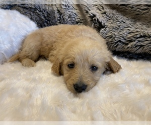 Goldendoodle Puppy for Sale in GULF BREEZE, Florida USA