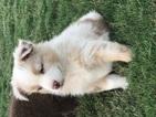 Australian Shepherd Puppy For Sale in STILLWATER, OK,