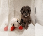 Small #10 Goldendoodle-Sheepadoodle Mix