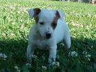 Jack Chi Puppy For Sale in PENN YAN, NY, USA