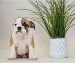 Small #12 English Bulldog