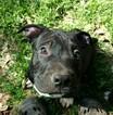 ADBA reg American Bully Pups