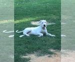 Small #5 Dogo Argentino