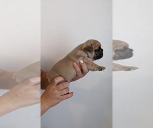 French Bulldog Puppy for Sale in PORTERVILLE, California USA