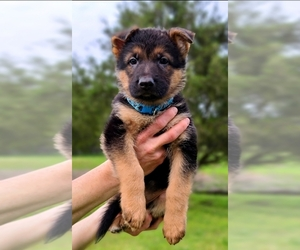 German Shepherd Dog Puppy for Sale in CLEBURNE, Texas USA