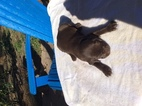 German Shorthaired Pointer Puppy For Sale in ALACHUA, FL