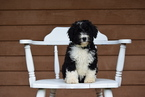 Miniature Bernedoodle Puppy For Sale in FREDERICKSBURG, OH, USA
