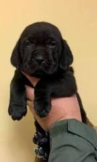 Goldmaraner Puppy for sale in VALDOSTA, GA, USA