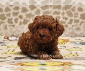 Poodle (Miniature) Puppy for sale in DENVER, PA, USA