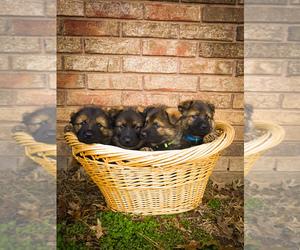 German Shepherd Dog Puppy for sale in RUDY, AR, USA