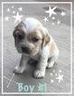Cocker Spaniel Puppy For Sale in SANTA ANA, CA, USA