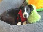 Border Collie Puppy For Sale in BROOKLYN, NY,