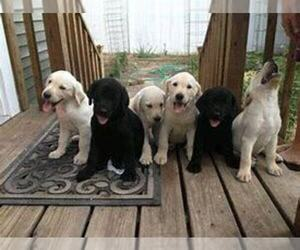 Labrador Retriever Puppy for sale in DETROIT, MI, USA