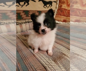 Pomeranian Puppy for sale in NOCONA, TX, USA