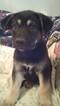 Puppy 2 German Shepherd Dog-Unknown Mix