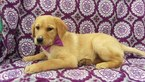 Labrador Retriever Puppy For Sale near 17601, Eden, PA, USA