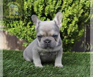 French Bulldog Puppy for Sale in ARLINGTON, California USA