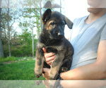 Puppy 4 German Shepherd Dog