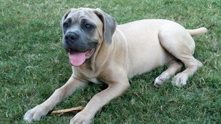 Cane Corso Puppy For Sale in BULVERDE, TX, USA