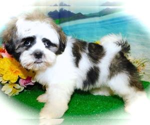 Shih Tzu Puppy for Sale in HAMMOND, Indiana USA