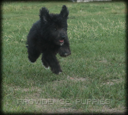 Aussiedoodle Puppy For Sale in WAYLAND, IA