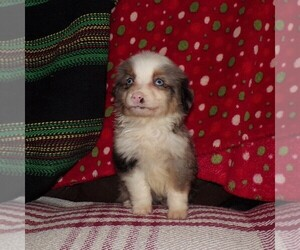 Australian Shepherd Puppy for sale in AINSWORTH, NE, USA