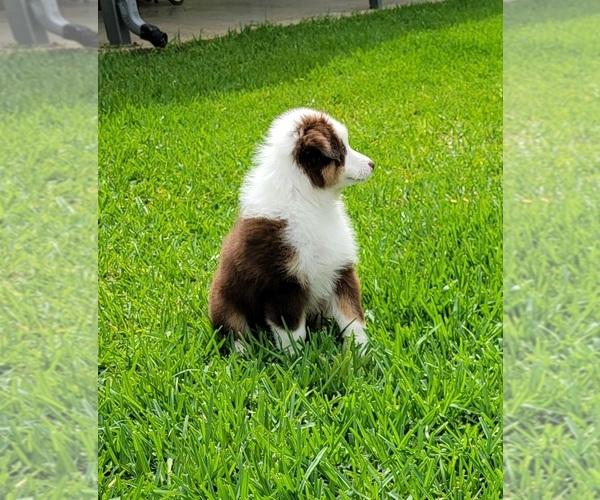 Medium Photo #5 Australian Shepherd Puppy For Sale in CLARKSVILLE, TX, USA