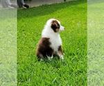 Small Photo #5 Australian Shepherd Puppy For Sale in CLARKSVILLE, TX, USA