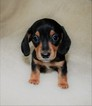 Dachshund Puppy For Sale in LEES SUMMIT, MO, USA