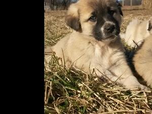 Anatolian Shepherd Puppy For Sale in DUNNEGAN, MO