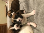 Boxer Puppy For Sale in NEOSHO, MO,