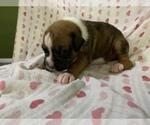 Puppy 5 Boxer