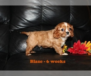 Cavalier King Charles Spaniel Dog for Adoption in CLARKRANGE, Tennessee USA