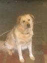 Great Pyrenees-Unknown Mix Dog For Adoption in FRANKFORT, KY, USA