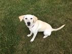 Labrador Retriever Puppy For Sale in GURNEE, IL, USA