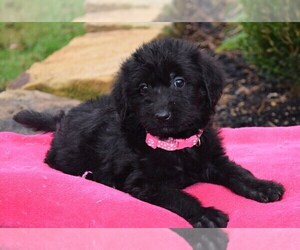 Labradoodle Puppy for sale in COSHOCTON, OH, USA
