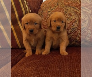 Golden Retriever Puppy for sale in BEVERLY HILLS, CA, USA