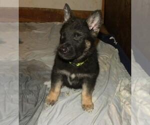 German Shepherd Dog Puppy for sale in HOMECROFT, IN, USA