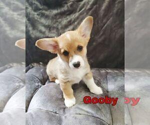 Pembroke Welsh Corgi Puppy for Sale in GOOSE CREEK, South Carolina USA